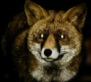 fox-579202_1920